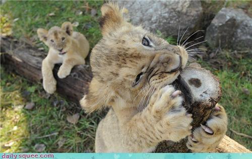 cat chew cougar - 3985495808
