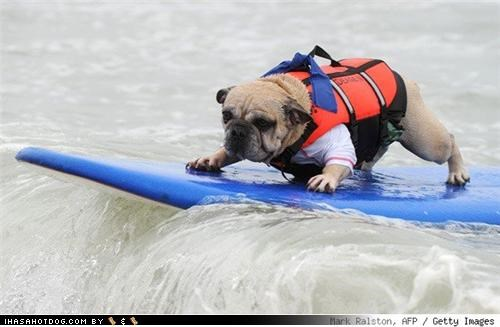 awesome bulldog california charity dogs huntington beach mixed breed rubber duckies spaniel surf board surfing talented waves - 3986289664