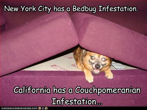 bed bug,california,couch,hiding,infestation,new york city,pomeranian