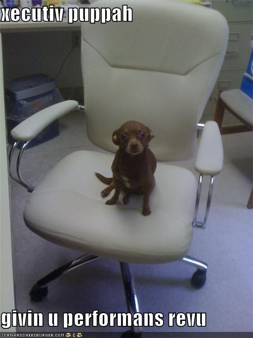 boss chihuahua comfy chair executive performance review puppy work