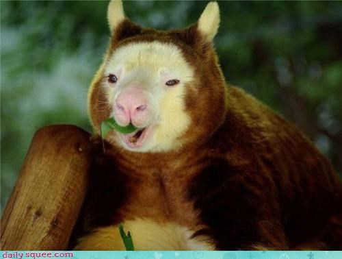 bear face kangaroo tree kangaroo