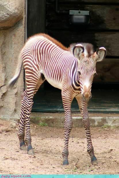 baby cute zebra - 3996926464