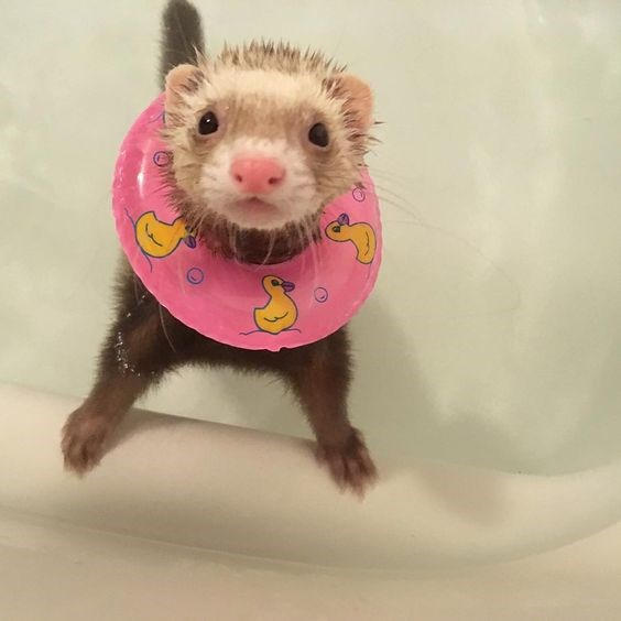 cute reasons to get a ferret