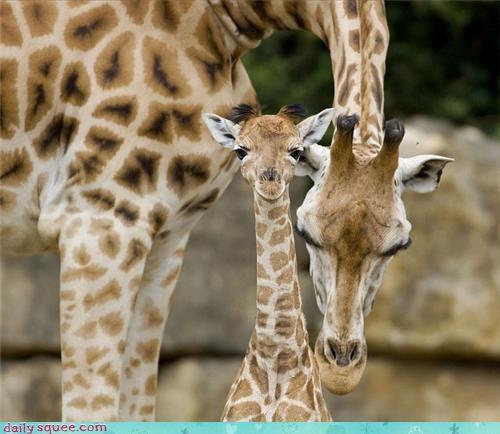 baby giraffes mama - 3998760704