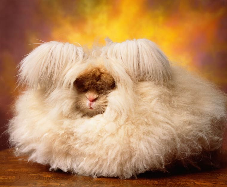 photos of fluffy angora rabbits