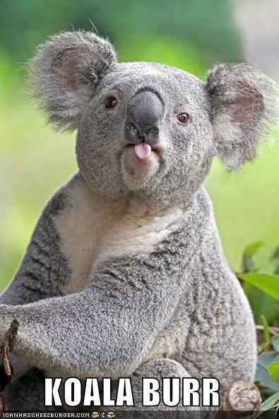 bear burr eucalyptus koala - 4003594240