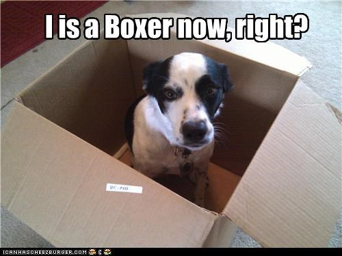 box,boxer,breed change,question,sitting,transforming,whatbreed