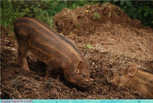 clean pig stripes - 4004516608