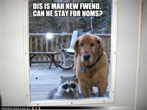 asking,dinner,friendship,new friend,noms,question,raccoon,staying