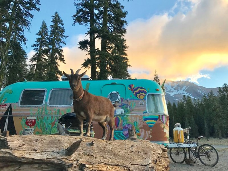 traveling goat