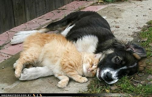 border collie,cat,kittehs r owr friends,puddle,puppy,rhyming,snuggle