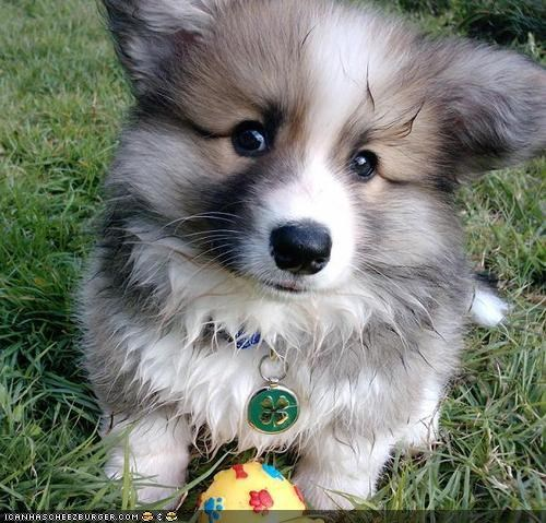 corgi cyoot puppeh ob teh day fluff irresistible poofy puppy puppy eyes - 4009750016