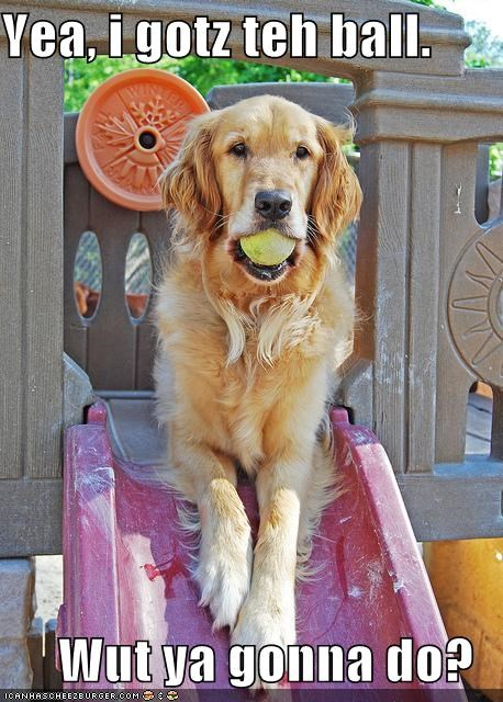 ball fetch golden retriever guarding impassive question serious slide themed goggie week unamused - 4012218368