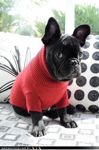 boston terrier,clothing,couch,cute,dressed up,frown,red,turtleneck