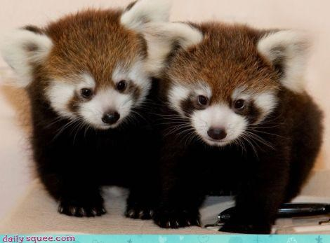 babyt,red panda,wins