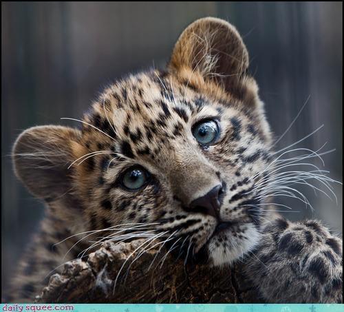 baby cougar cub - 4015111936