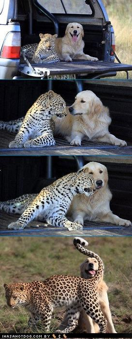 cheetah,cute,four photos,friendship,golden retriever,Interspecies Love,nuzzling,staring contest,touching