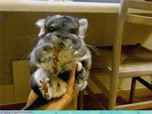 chinchilla floofy pet reader squee toe beans - 4021469184