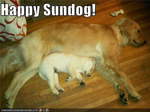 cuddling curled up cute golden retriever happy sundog mom puppy sleeping - 4022149376