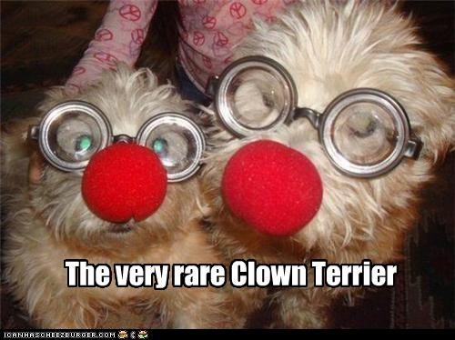 The very rare Clown Terrier