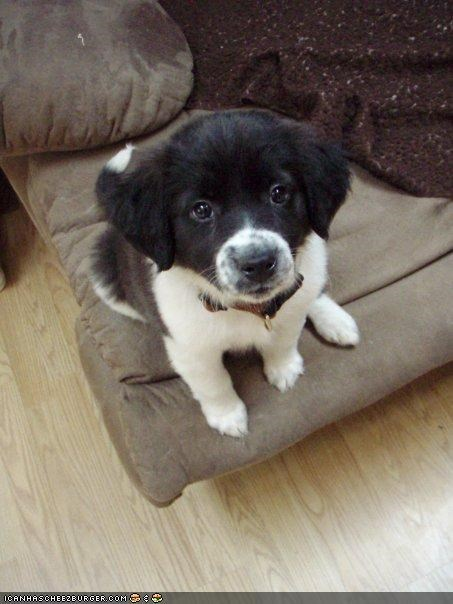 adorable begging border collie cyoot puppeh ob teh day eyes pretty please puppy eyes Staring the look - 4022906368