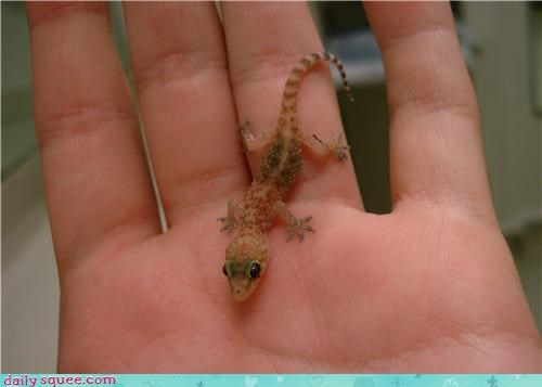 baby gecko lizard - 4029375232