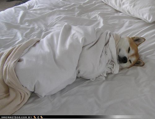 bedtime blankets bundled up cute Hall of Fame never too early shiba inu sleeping snuggling