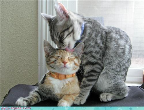 cat head lick - 4033609472