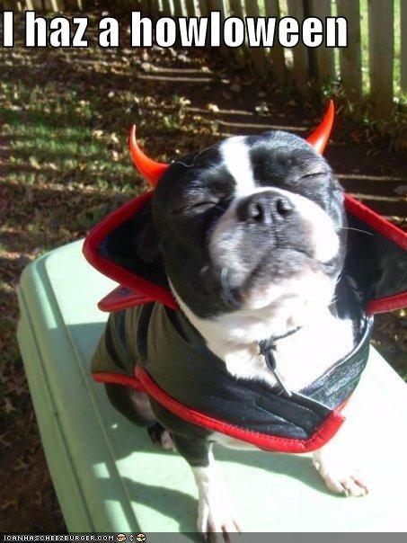 boston terrier costumed dressed up halloween happy howloween i has i haz - 4034307072
