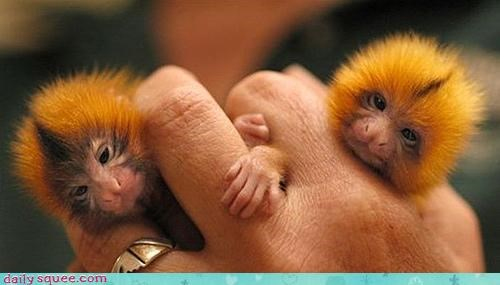 Babies do want marmoset marmosets - 4034577152