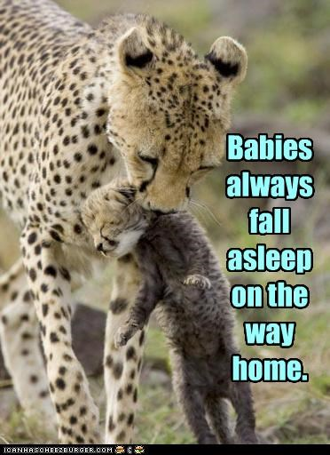 Babies caption captioned cheetah cub cute falling asleep mama scruff of the neck the way home - 4036854016