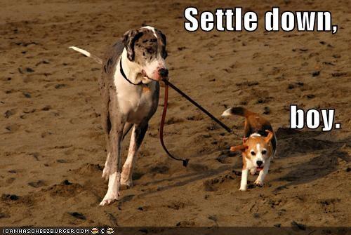 awesome beach beagle cute great dane leash restraining settle down themed goggie week walking well behaved - 4038261248
