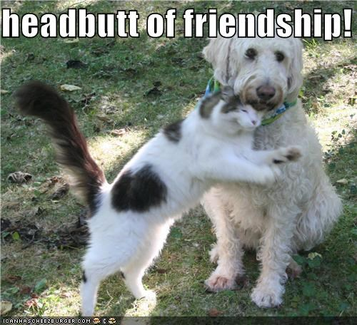 cat confused exasperated friendship headbutt mixed breed spaniel