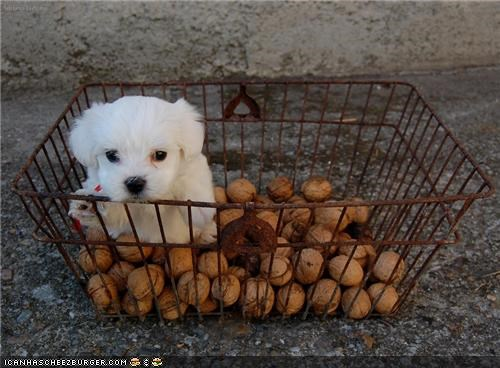 basket begging cute cyoot puppeh ob teh day lying puppy eyes shopping walnuts whatbreed - 4039158784