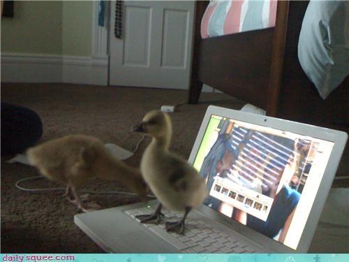 baby bird geese gosling - 4039832064