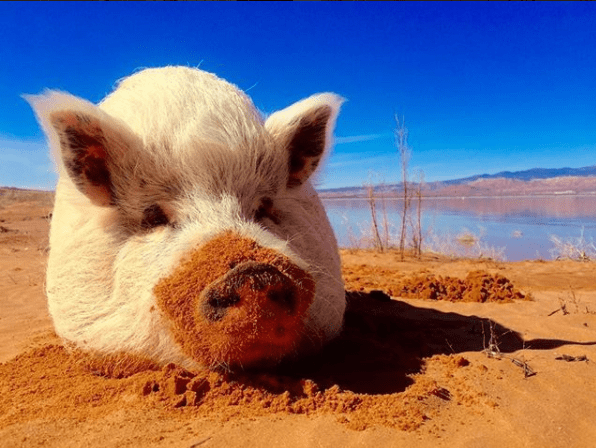 pig travels the world