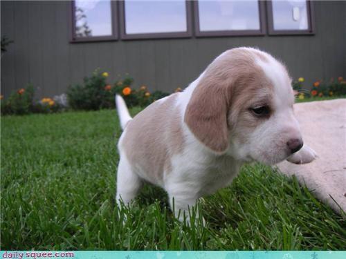 baby beagle puppy - 4040683008