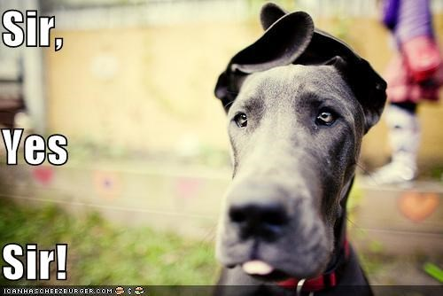 army at ease attention bendy cute ears floppy great dane salute themed goggie week