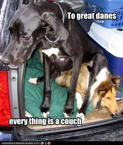 collie,couch,cute,everything,funny,great dane,perception,squished,themed goggie week