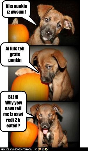 awesome bleh cute eaten gross halloween howloween love noms not ready pumpkins puppy story the great pumpkin whatbreed - 4042825984