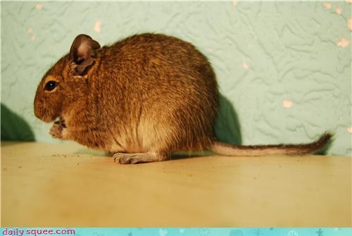 degu pet whatsit wednesday