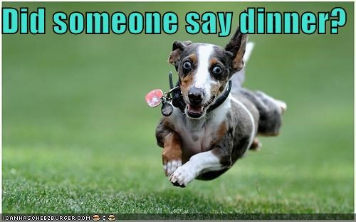 anticipation dachshund dinner excited hoverdog mixed breed overheard question running - 4049525760