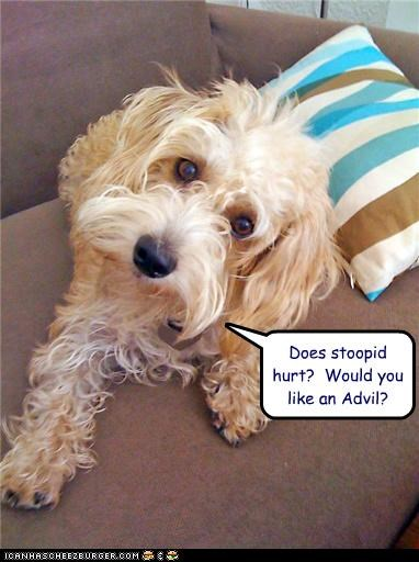 advil,confused,face,hurt,offer,pain,question,silky terrier,stupid