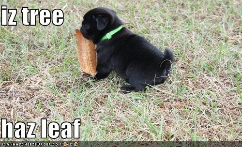 cute,denial,explanation,leaf,pretending,pug,puppy,statement,tree