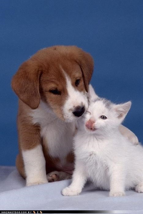 cute,friendship,kittehs r owr friends,kitten,licking,love,puppy,whatbreed