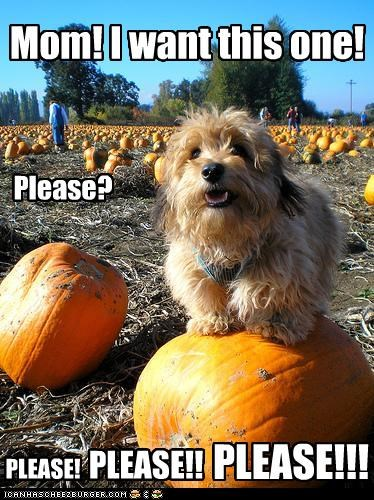 appeal begging do want excited halloween howloween mom picked out please pumpkins silky terrier this one - 4058776064