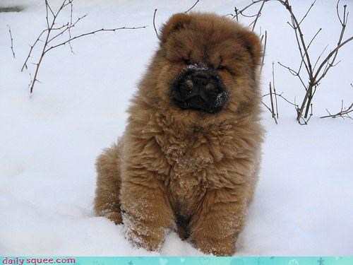 chow,dogs,snow