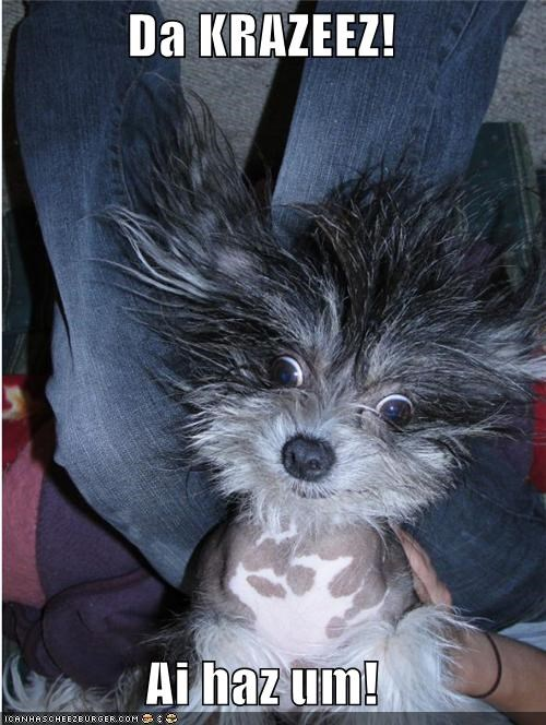 chinese crested crazy funny Hall of Fame silly face - 4061680384