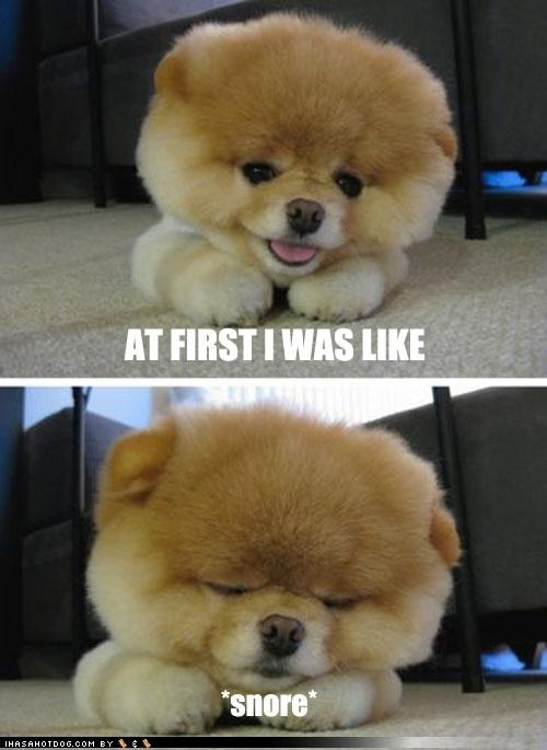at first i was like but then i was cute napping pomeranian puppy sleeping snore snoring tired - 4062044672