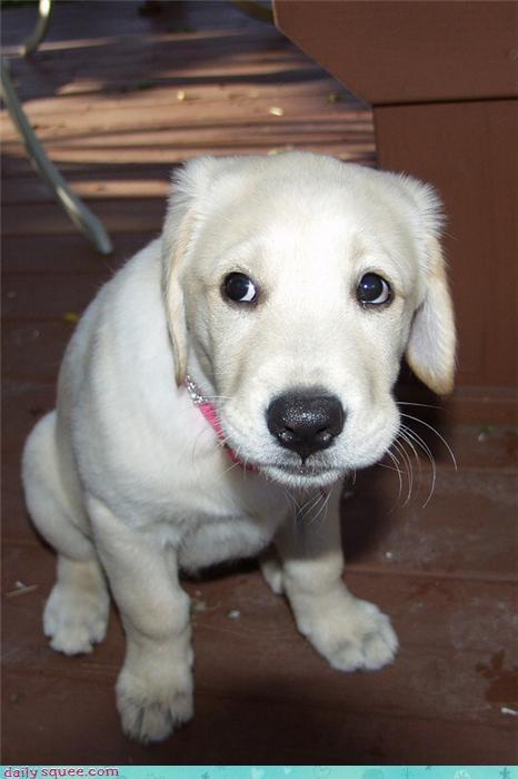 lab puppy white - 4062047488